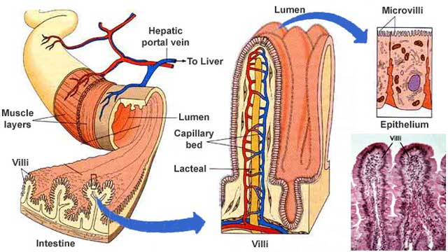 How the Small Intestine Works