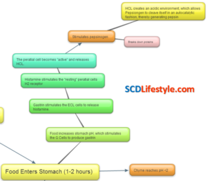 digestive-process