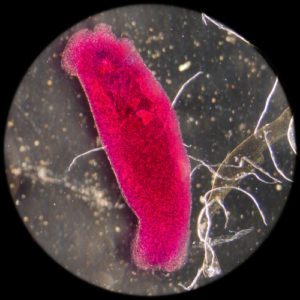 Close-up of microorganism