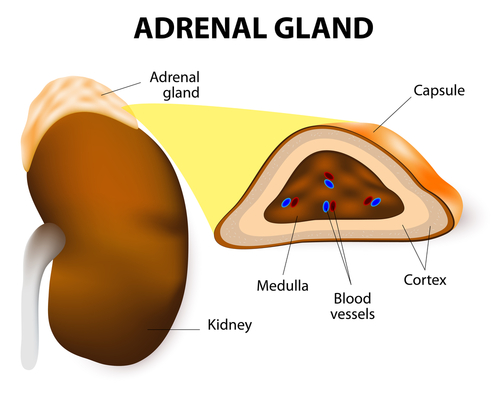 Adrenal-gland-and-your-gut
