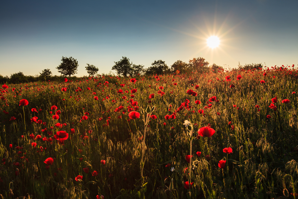 opium-flower-field