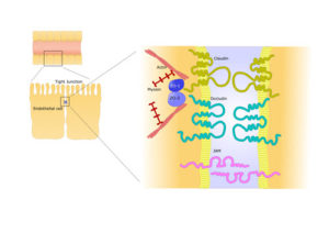2-endothelial-cells-tight-junction