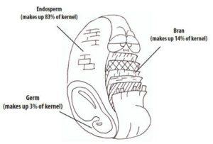Cartoon simplifying gluten into endosperm, bran and germ