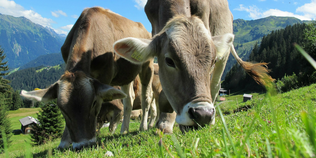 Happy grass-fed cows